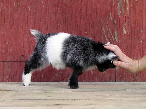 Pygmy goat butts hand
