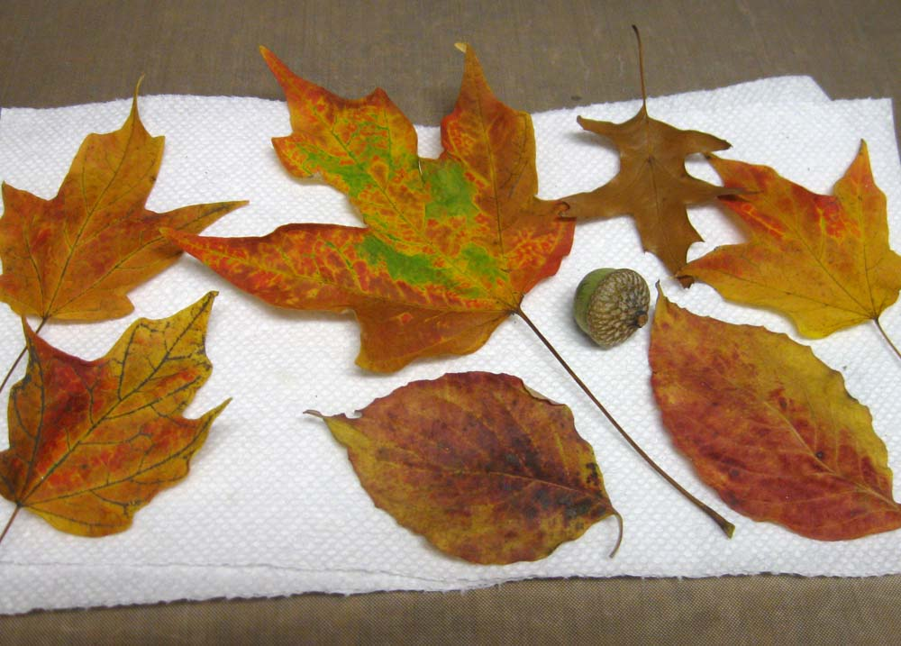 Fall leaves and an acorn